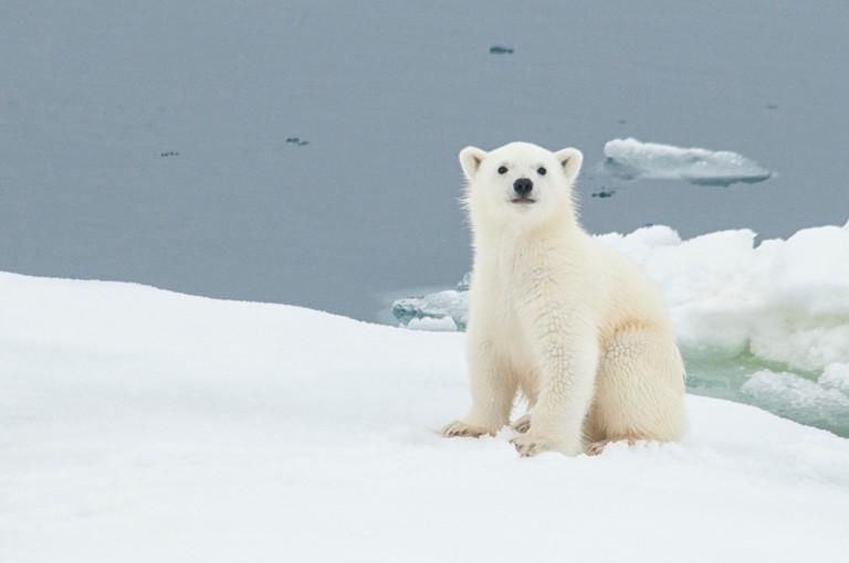 Polar Bear Cub, Norway.