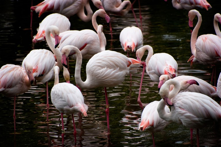 Greater Flamingoes seen wading at the Hong Kong Zoological and Botanical Gardens and park in the Kowloon district.. Image shot 2008. Exact date unknown.
