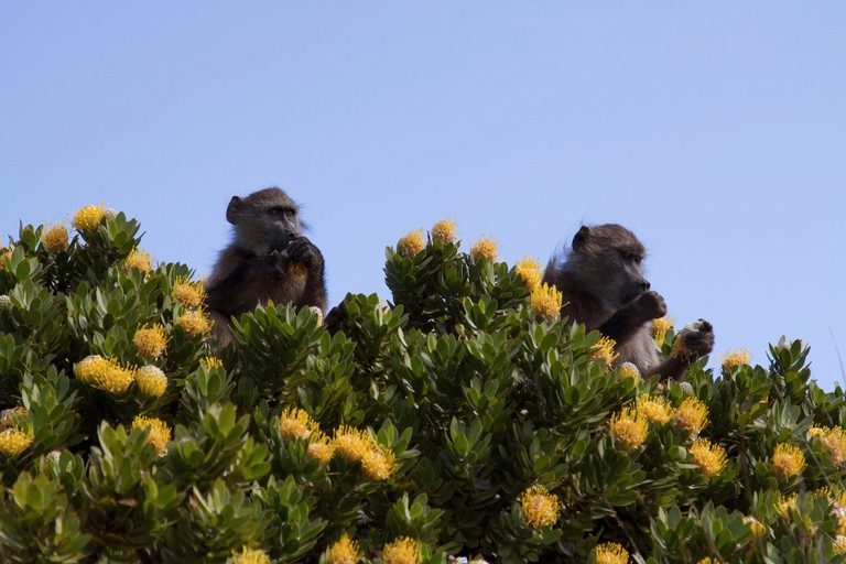 Chacma baboons (Papio ursinus) in Cape Town
