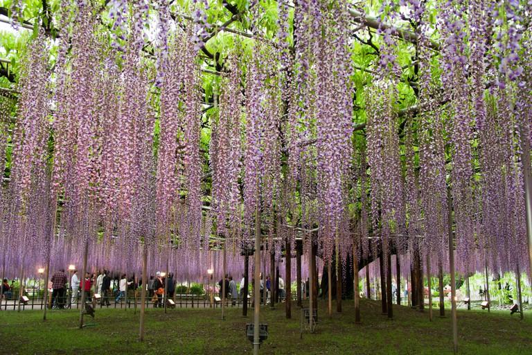 Wisteria Trellis of Ashikaga Flower Park, Tochigi, Japan.