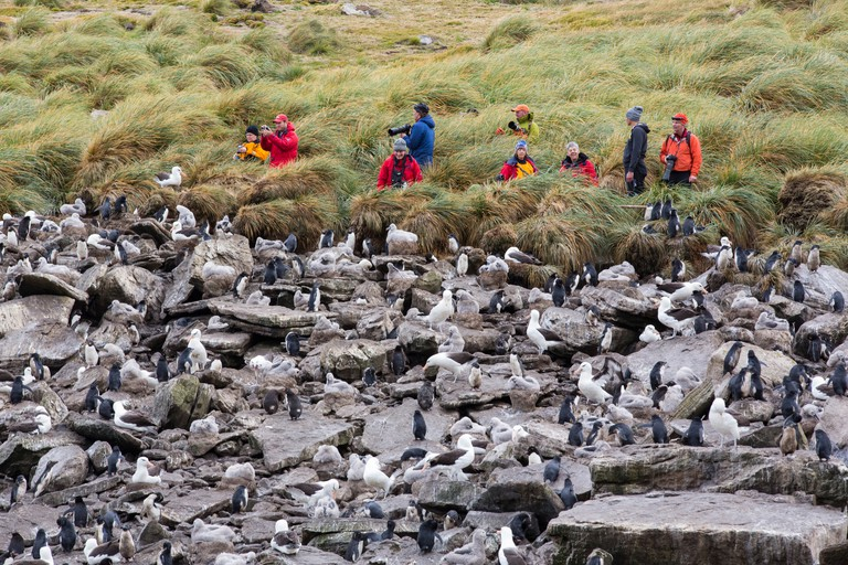 A mixed Black Browed Albatross (Thalassarche melanophris) and Rockhopper Penguins (Eudyptes chrysocome) nesting colony on Westpoint Island in the Falkland Islands.