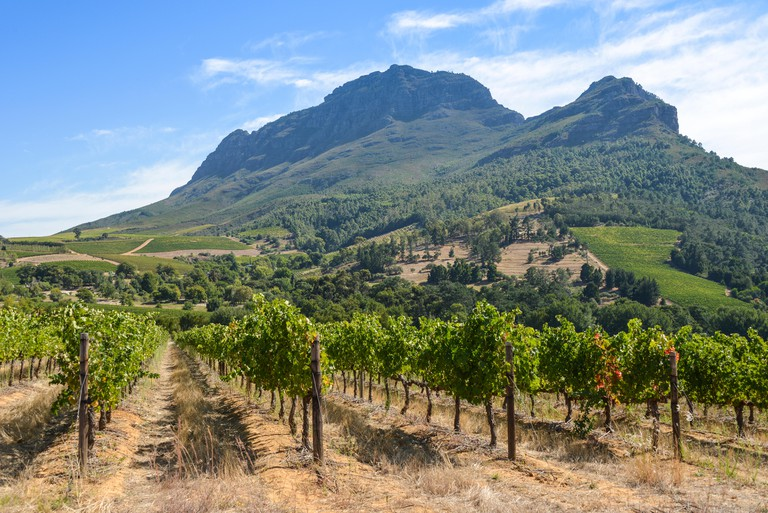 Vineyard in Stellenbosch, Cape Winelands District, South Africa.