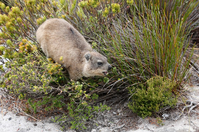 A Rock hyrax also know as a Dassie on top of Table Mountain, Cape Town