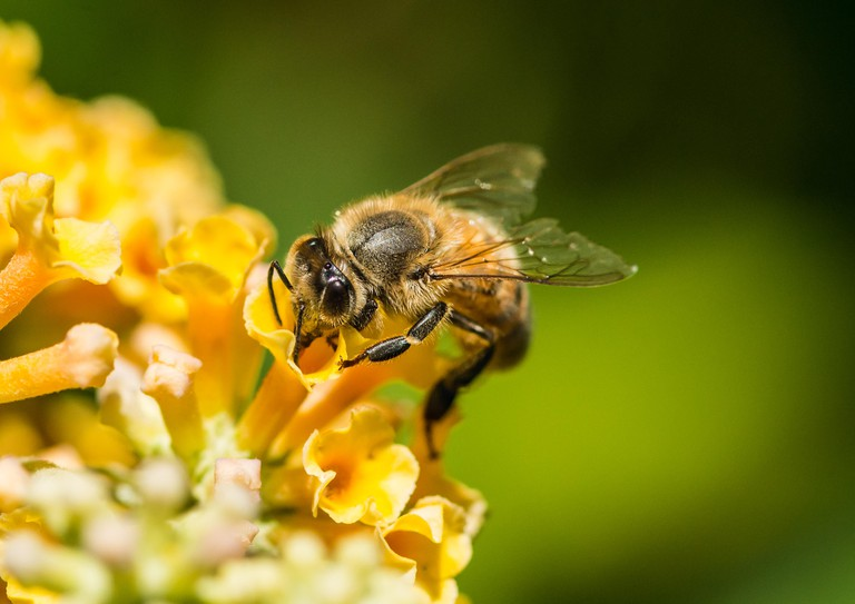 A macro shot of a honey bee collecting pollen from a yellow butterfly bush.