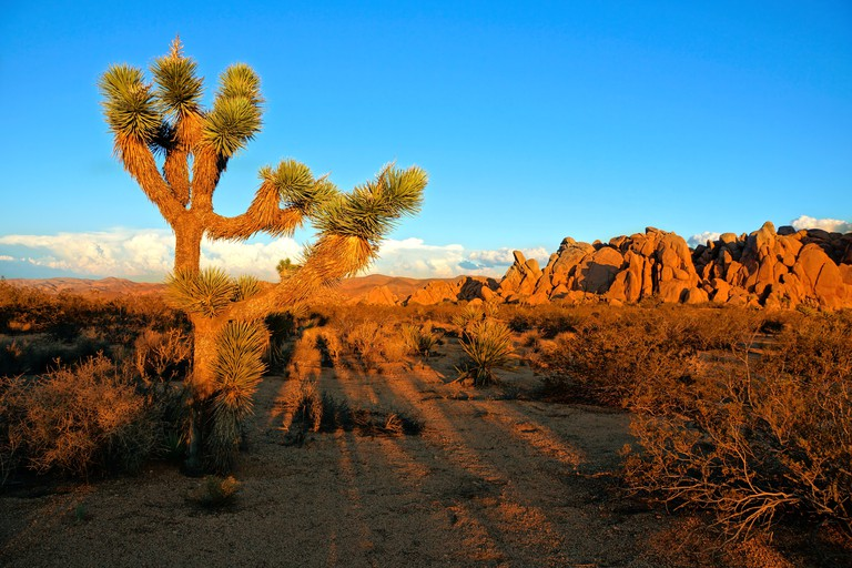 Desert landscape of Joshua Tree National Park at sunset, California, USA.