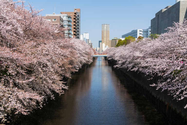 Cherry blossom along the banks of Meguro River, Tokyo, Japan