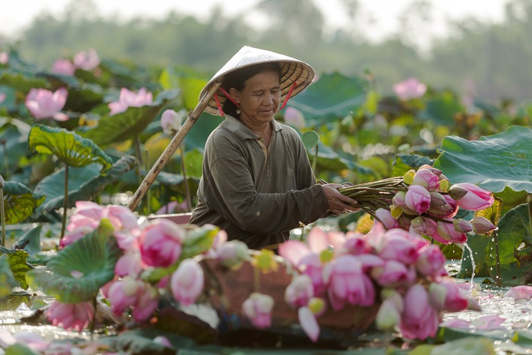 Farmers are collecting lotus in a garden in Thailand.