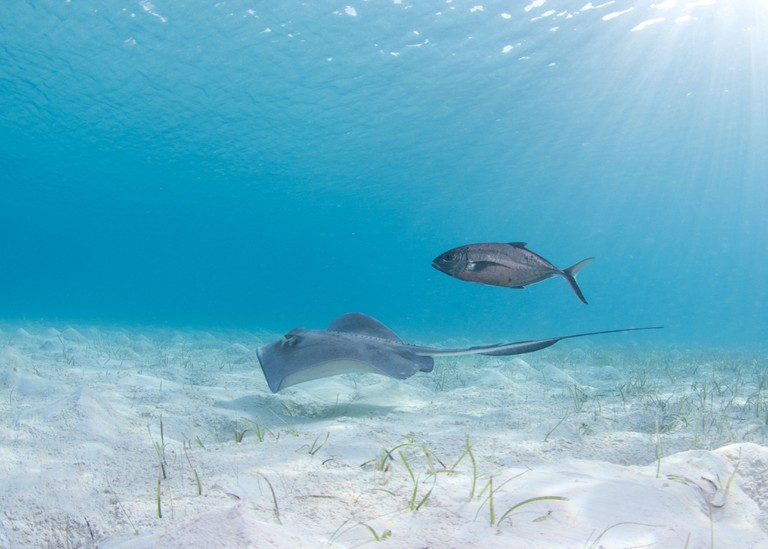 Stingray in White Sand in the Bahamas