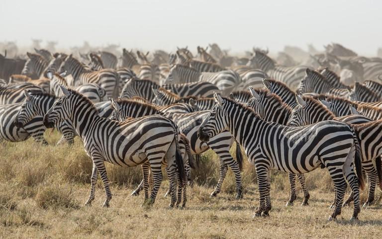 Zebras in the Serengeti National Park in Tanzania.