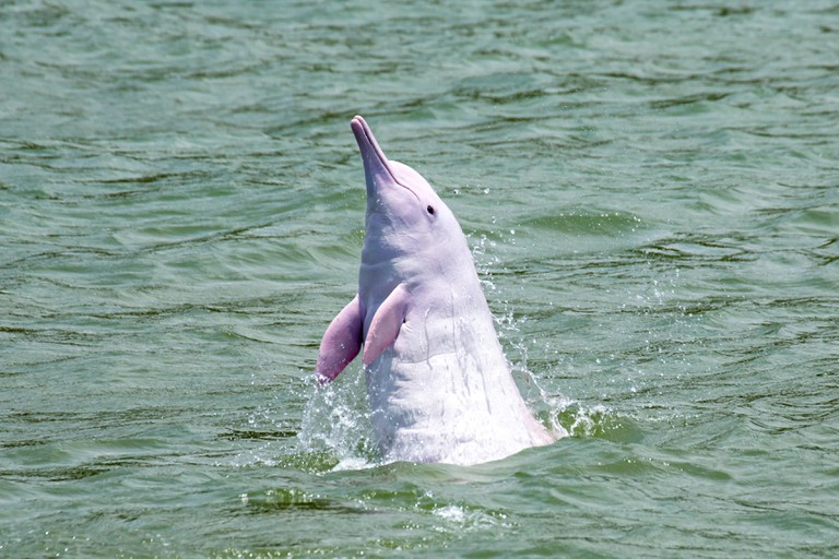An adult Indo-Pacific Humpback Dolphin (Sousa chinensis) leaping straight out from the water, spyhopping.