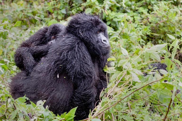 Virunga Mountains, Rwanda, Africa.