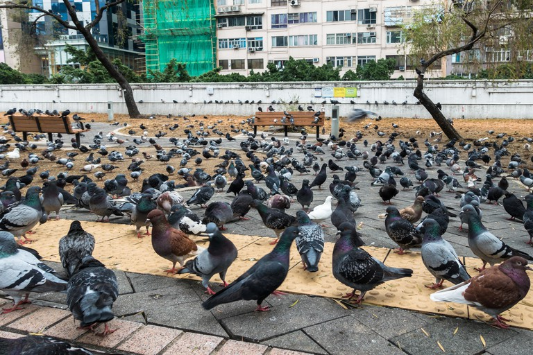 Many pigeons at Kowloon Park, Hong Kong,Tsim Sha Tsui