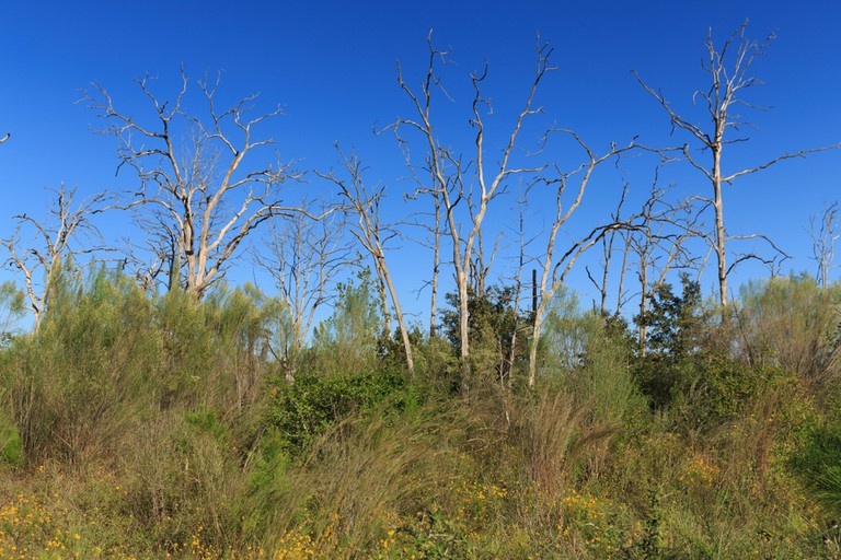 Bastrop State Park, old burnt trees stick out among the new tree growth years after the fire in 2011.