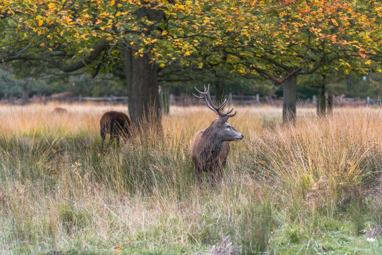 Red deer stag in Richmond park, London.