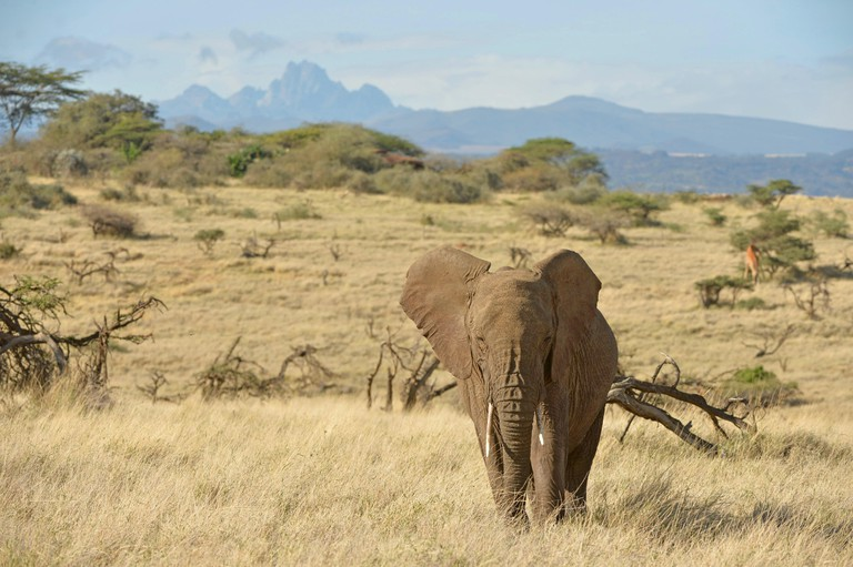 African Elephant, Lewa Wildlife Conservancy, Kenya