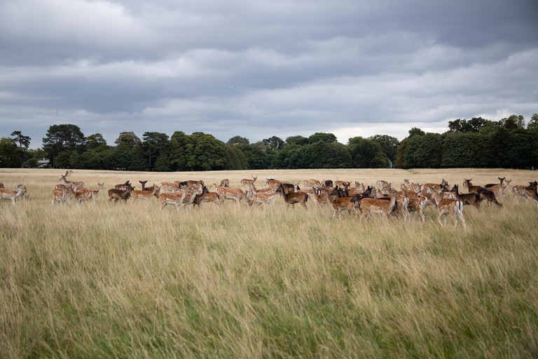 Phoenix Park is home to around 500 wild fallow deer