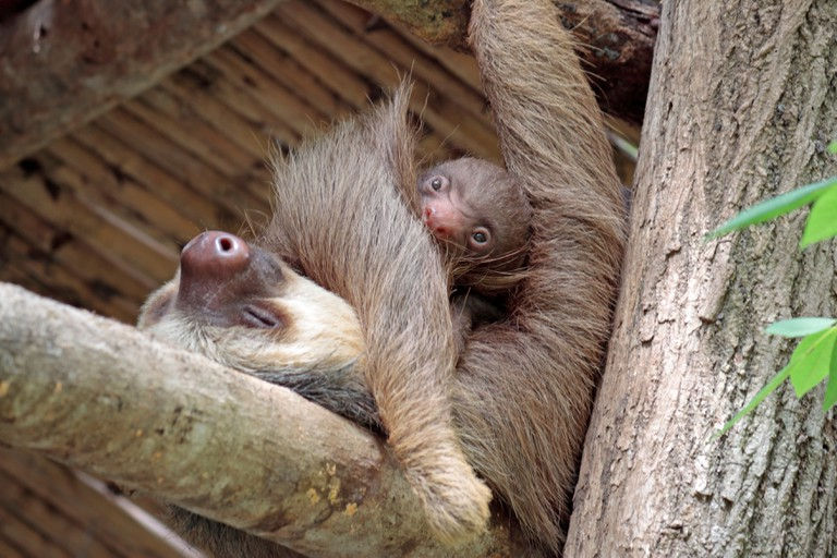 Two toed sloth Mia and her five day old baby at Diamante Wildlife Sanctuary, Guanacaste, Costa Rica