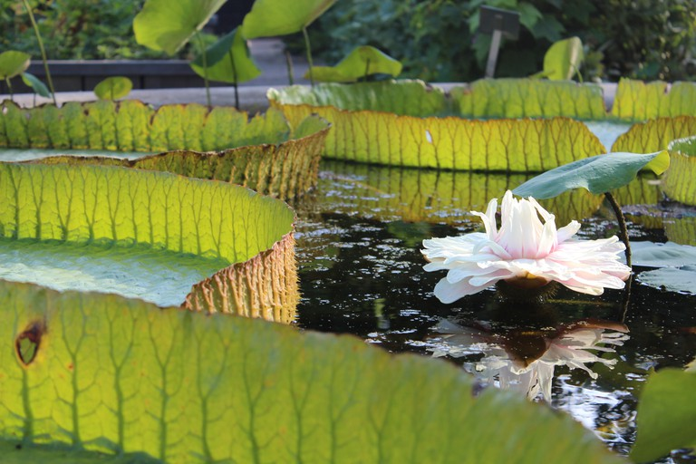 Water lilies at the garden