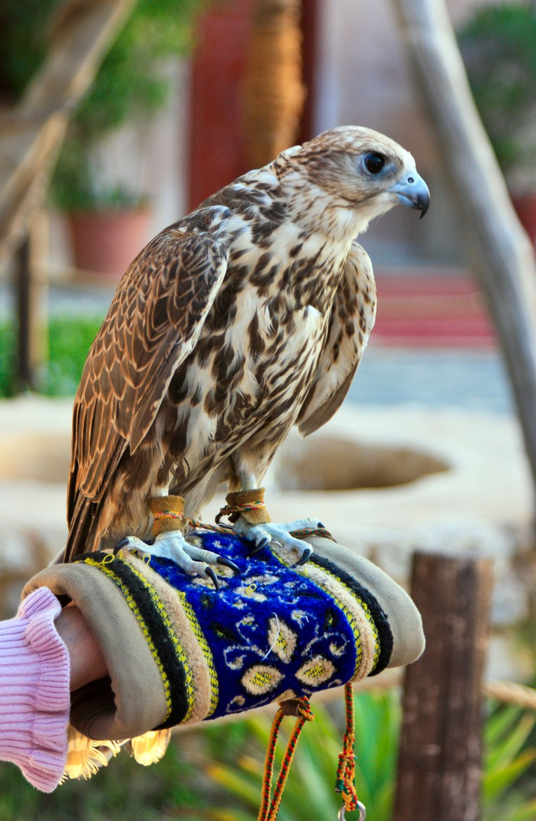 Arabian Hunting Falcon in Abu Dhabi, United Arab Emirates