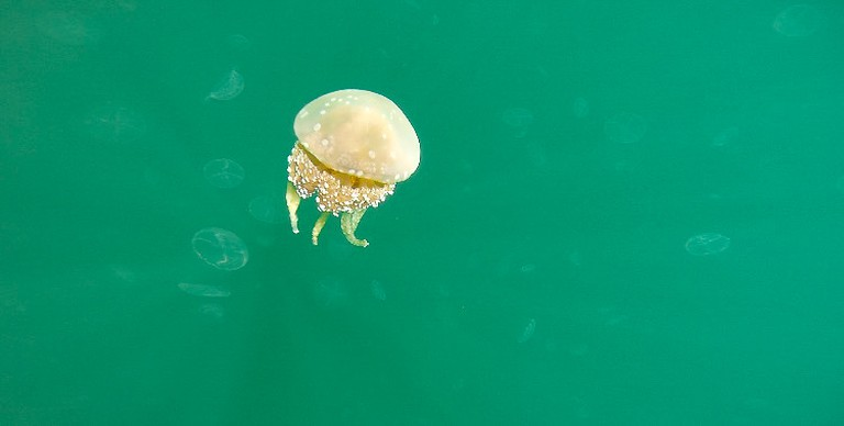 A stingless half moon jellyfish in Jellyfish Lake, Raja Ampat