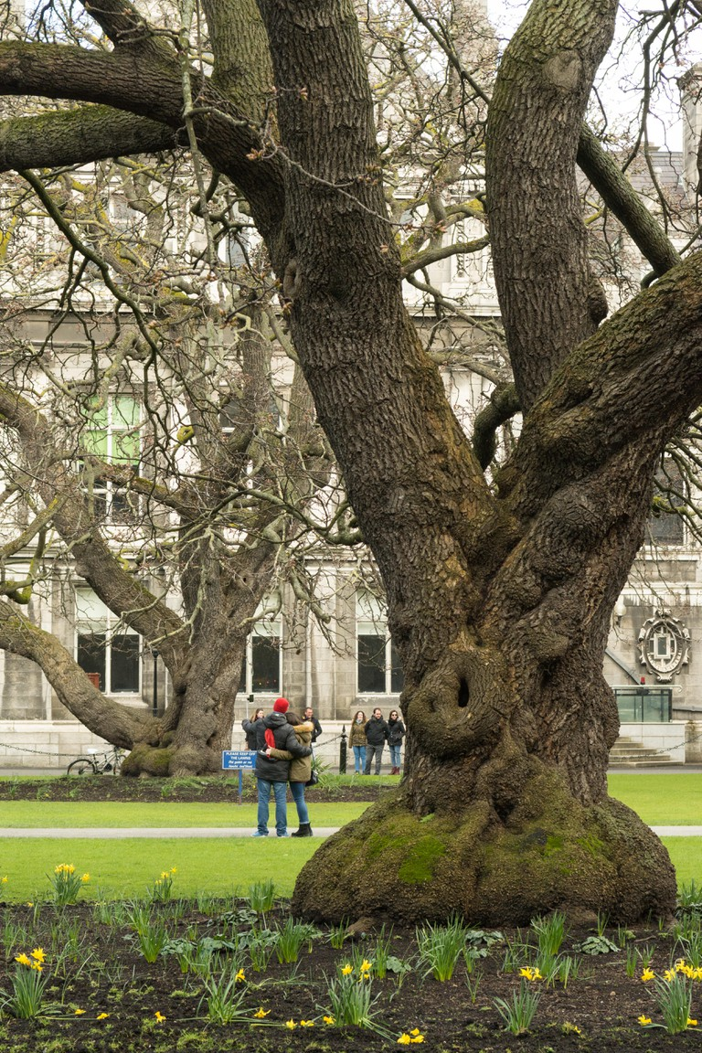Oregon maple trees (Acer macrophyllum) planted c1830 at Trinity College Dublin, Ireland