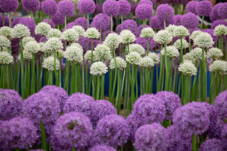 Alliums on display at the W.S. Warmenhoven exhibit during press day at the the RHS Chelsea Flower Show 2018 in London, May 21, 2018. RHS/Suzanne Plunkett