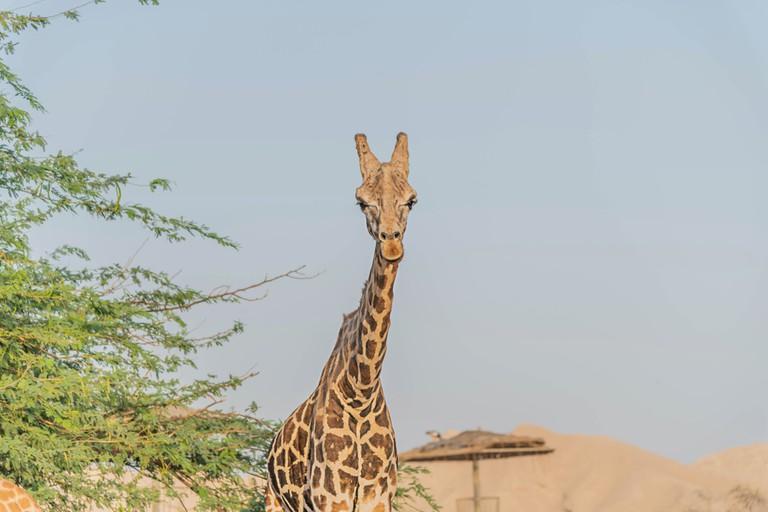 Giraffe in Abu Dhabi