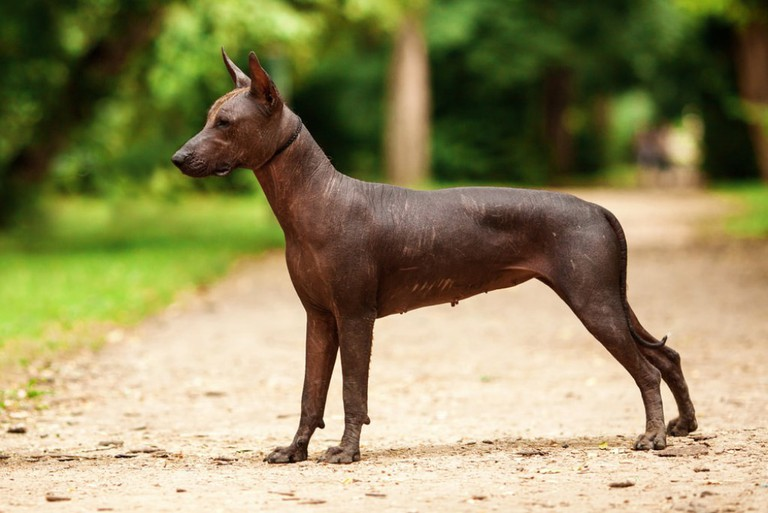 The Aztecs regarded the xoloitzcuintl as a guardian and protector