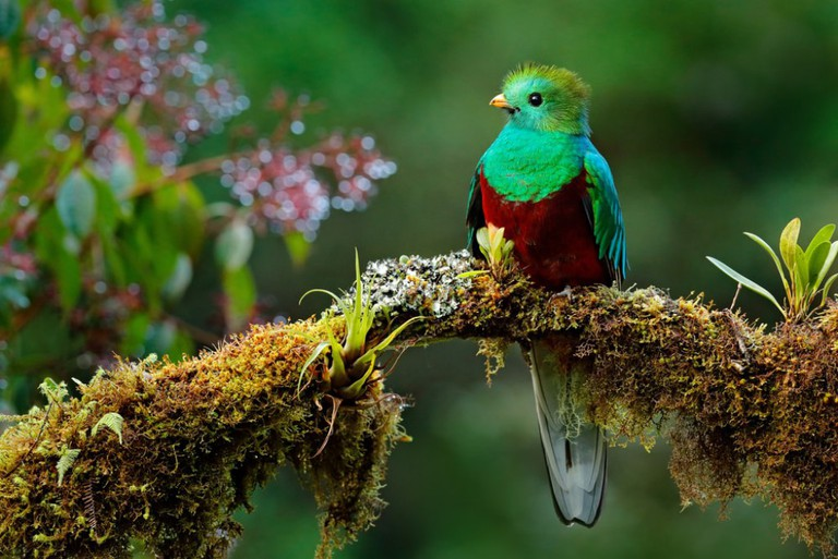 The quetzal likes to live in tropical highlands