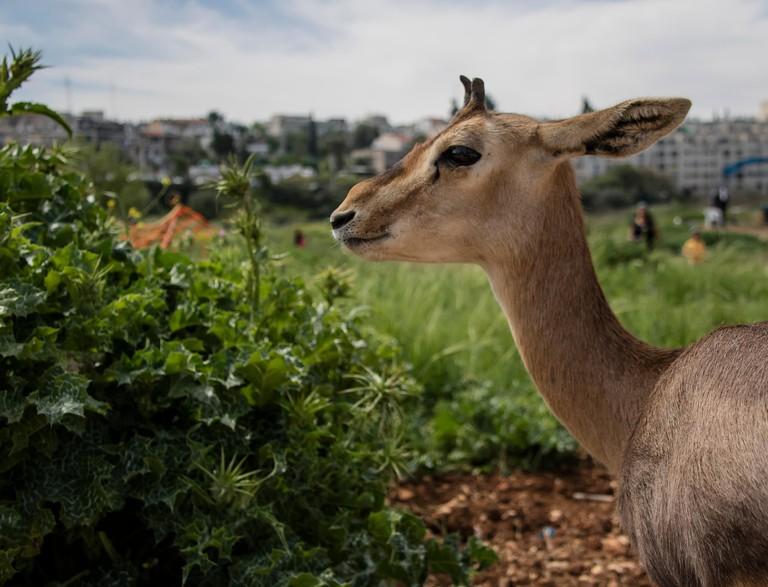 An israeli gazelle female in gazelle valey, Jerusalem, Israel