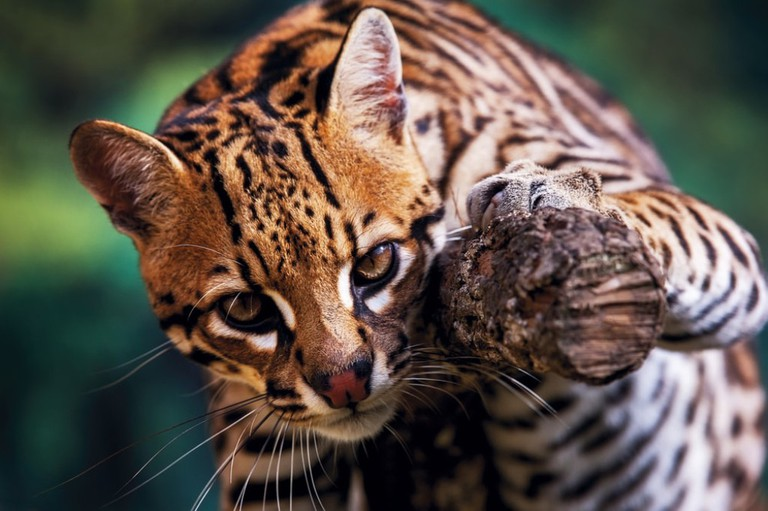The ocelot is often confused for a tiny jaguar