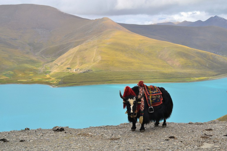Tibetan Yak at Namtso Lake near Lhasa, China