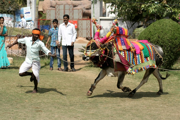 Musician show decorated bull gangireddu skills during sankranti  pongal hindu festival on January 14,2014 in in Hyderabad,India.. Image shot 2014. Exact date unknown.