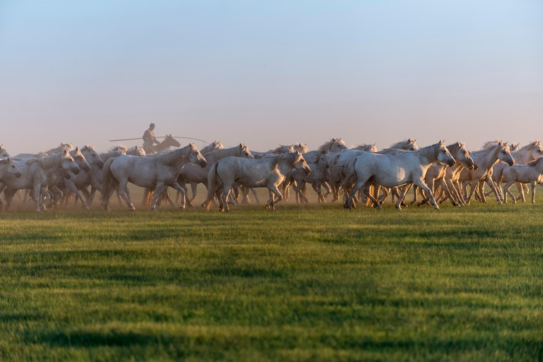 Famous Mongolian white horses are herded, Xiwuzhumuginqi, Inner Mongolia