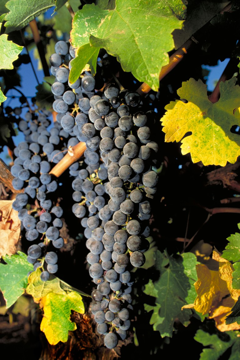 California Wine Country grape clusters.