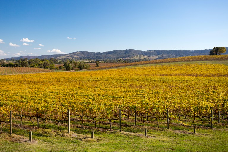 Vines in autumn at a winery in the Yarra Valley, Victoria, Australia.