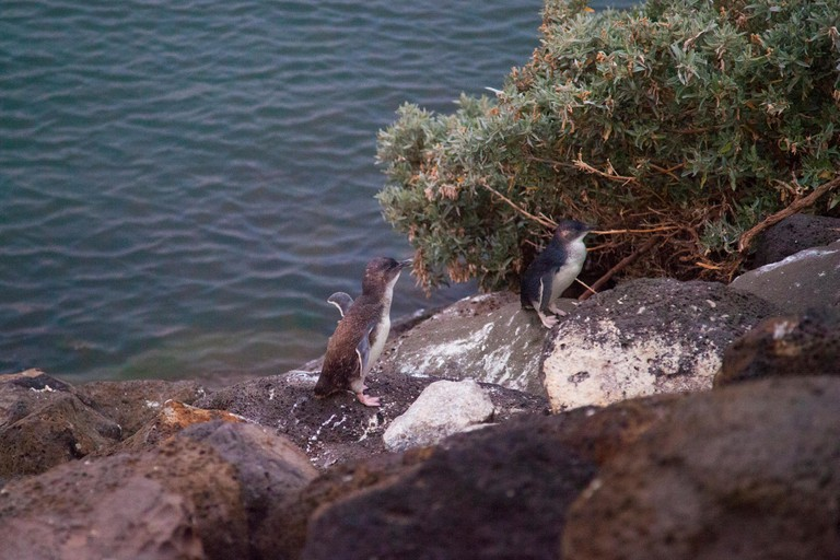 Two Penguins at Phillip Island, Melbourne, Australia.