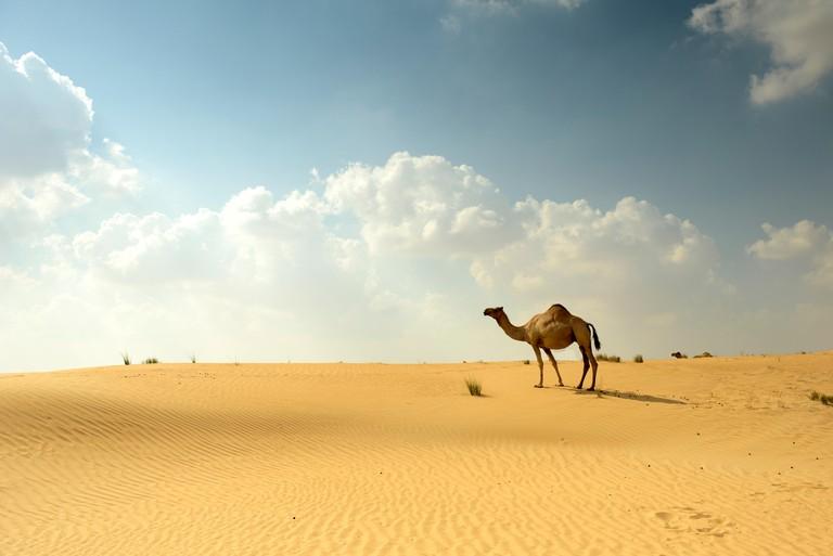 Camels in Arabian Sand Desert