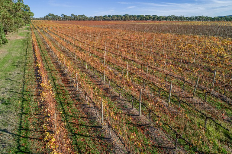 Rows of golden grape vines in Mornington Peninsula, Victoria, Australia.