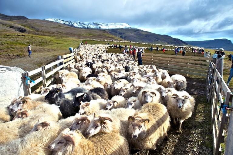 Icelands Rettir sheep Hvalfjordur Western Iceland
