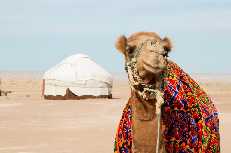 Camel in front of yurt camp in Kyzylkum Desert