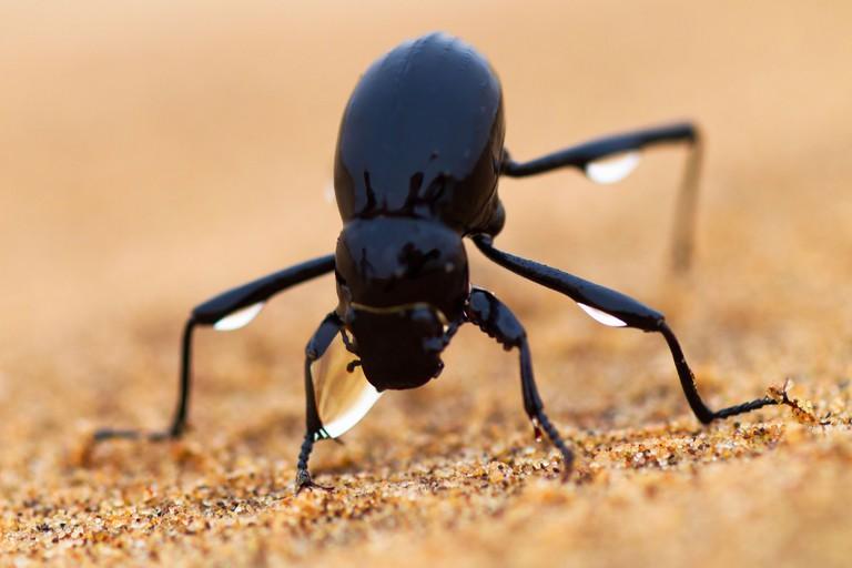 The Namib Desert beetle (genus Stenocara) fog basking. Namibia