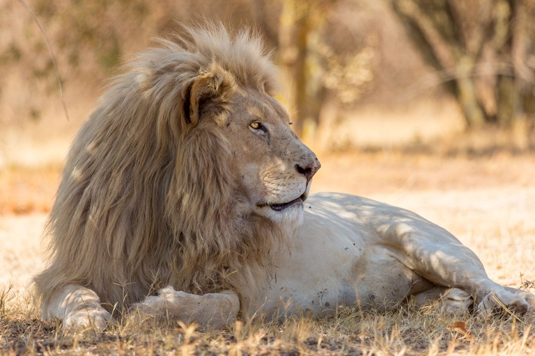 A beautiful white lion indigenous to South Africa