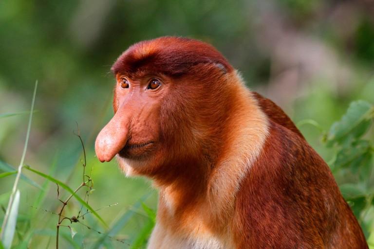 Proboscis Monkey - Nasalis larvatus - in Bako National Park, Sarawak, Malaysia