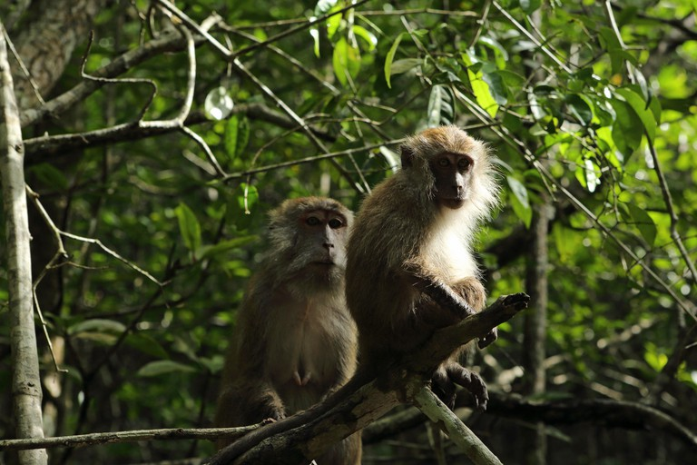 Long-tailed macaques (Macaca fascicularis) grooming in Kelim Karst Geoforest Park on Langkawi, Malaysia.