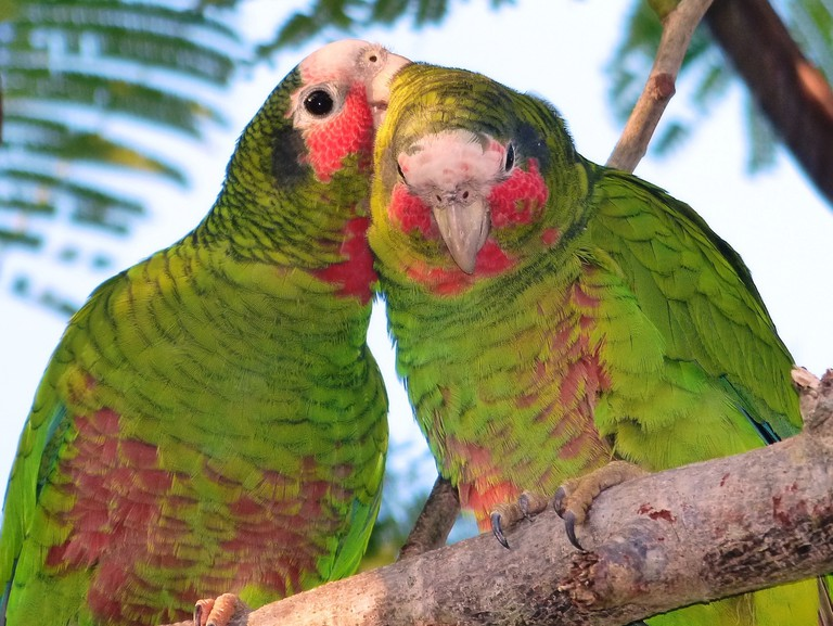 Grooming Parrots 004