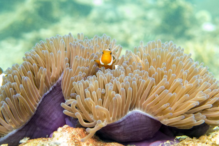 Clownfish (anemonefish) In Reef - Perhentian Islands, Malaysia