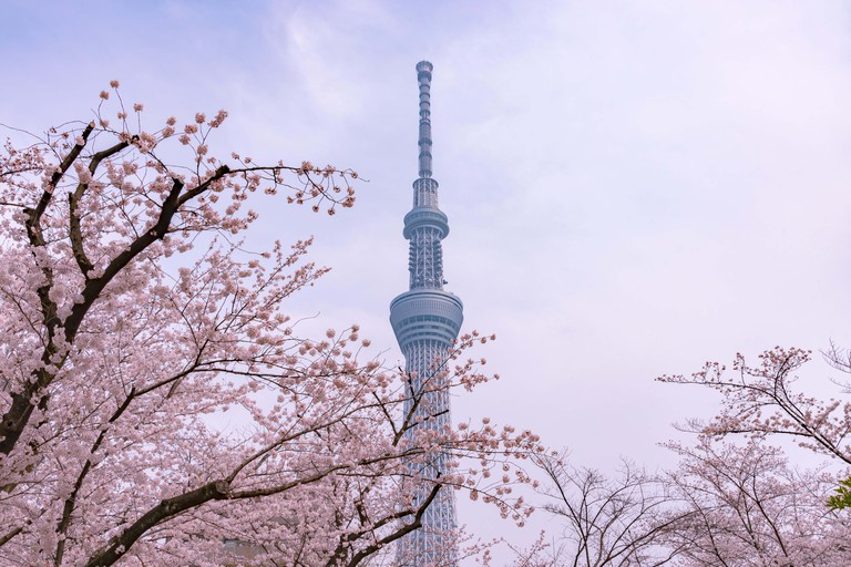 Tokyo Skytree Tower with cherry blossoms in full bloom at Sumida Park.