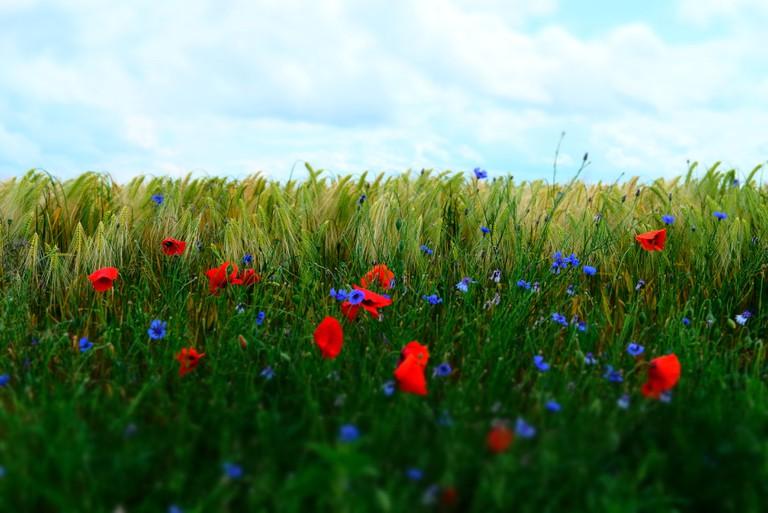Poppies in a wheat field in France