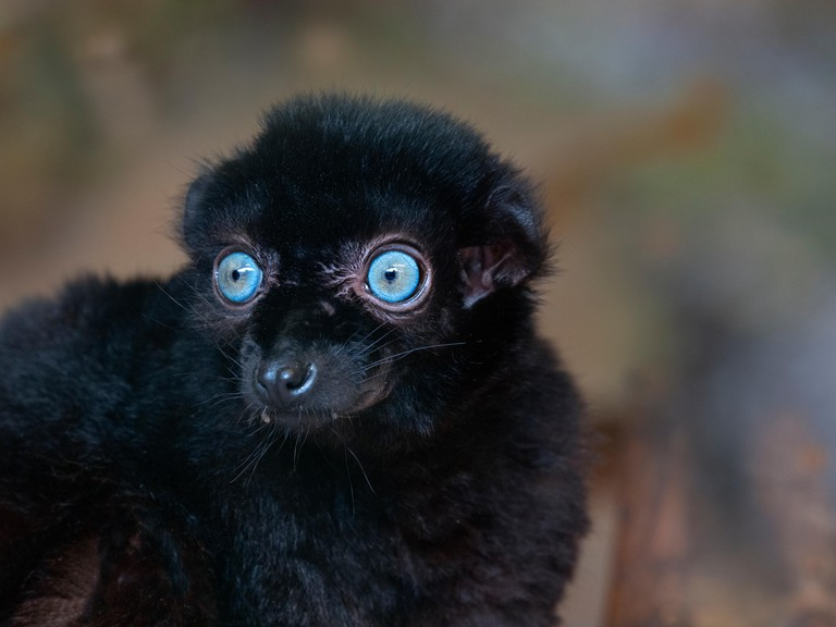 male Blue-eyed black lemur Eulemur flavifrons also known as the Sclater's lemur